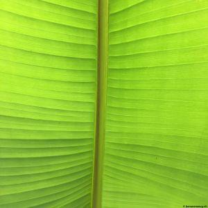 Banana-leaf-02