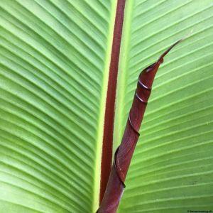 Banana-leaf-04