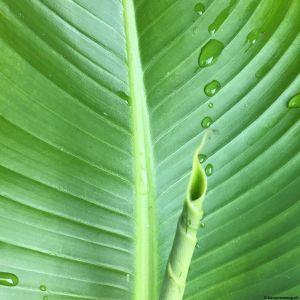 Banana-leaf-05