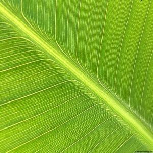Banana-leaf-06