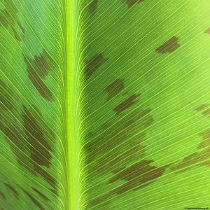 Banana-leaf-07