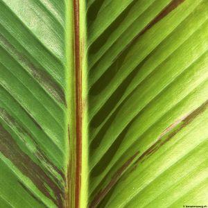 Banana-leaf-08