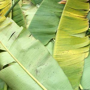 Banana-leaf-09