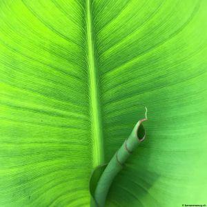Banana-leaf-10