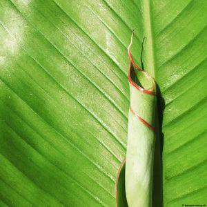 Banana-leaf-11